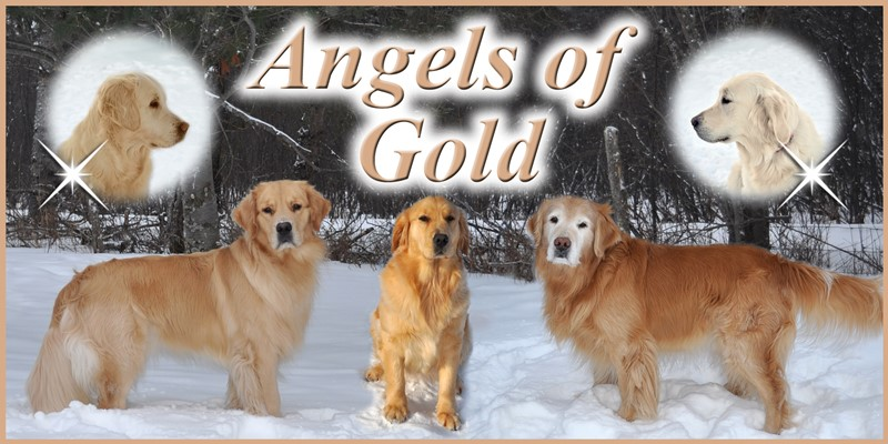 Angels of Gold, Golden Retriever Breeders
